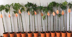 Papayas Mundosol Quality